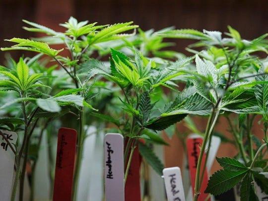 Marijuana plants on display at a medical marijuana provider in downtown Los Angeles.