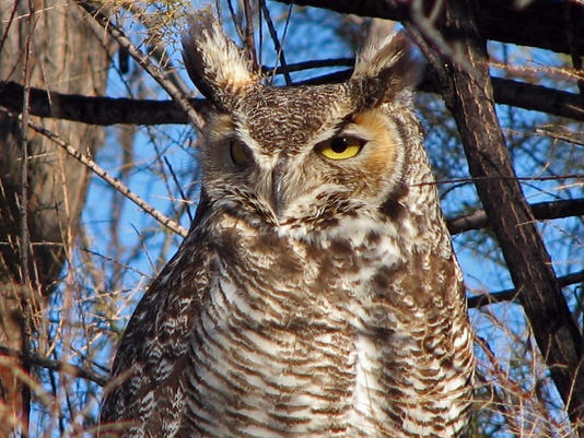 Great-Horned-Owl-2c-1-23-07-2c-jimmy-zabriskie.JPG