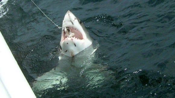 A great white shark caught and released on a NOAA Apex Predators Program longline survey (Credit: Fiona Hogan, NEFSC/NOAA.)