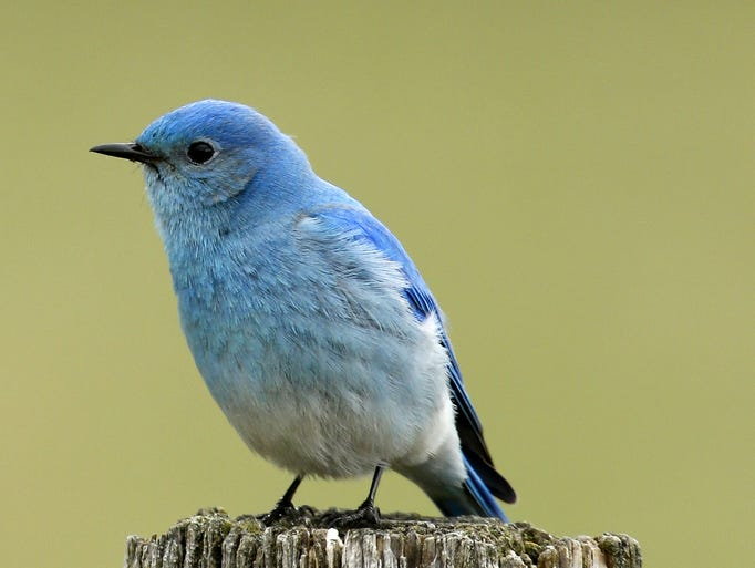 A Mountain Bluebird perches on a fence post on Dry Wolf Road.