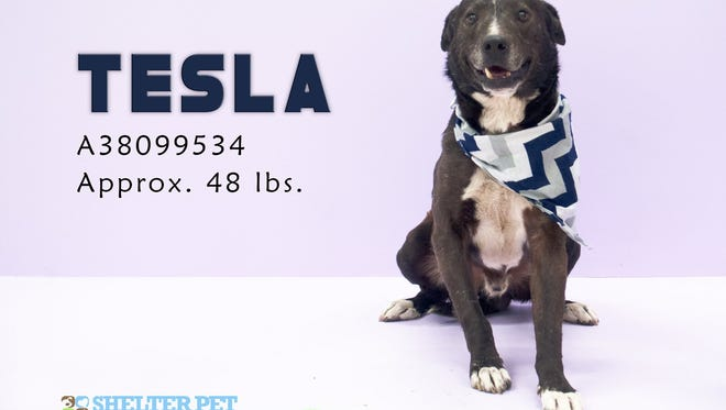 Tesla is a 5 yr old male Lab mix.