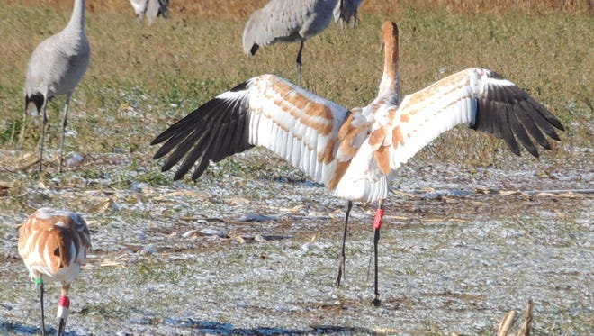 A young whooping crane spreads its wings after being released in Wisconsin last fall as part of the Whooping Crane Eastern Partnership direct autumn release program.