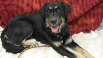 Ranger is a Gordon Setter mix who returned to the shelter because he's too much for small children. He's a very loving boy, but will need an active family – possibly one that hikes or jogs or something of the like. If you think you've got the right place for Ranger, stop out and meet him.