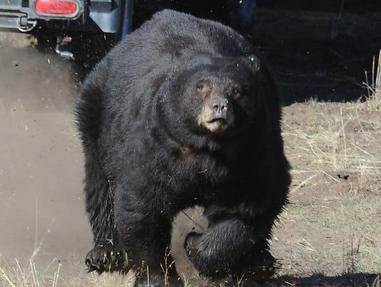 NDOW bear