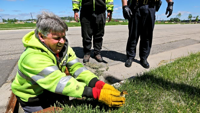 City of Dubuque employee Bill Kelly rescues one of 10 baby ducks that fell into a storm drain Monday, May 18, 2015, in Dubuque, Ia.