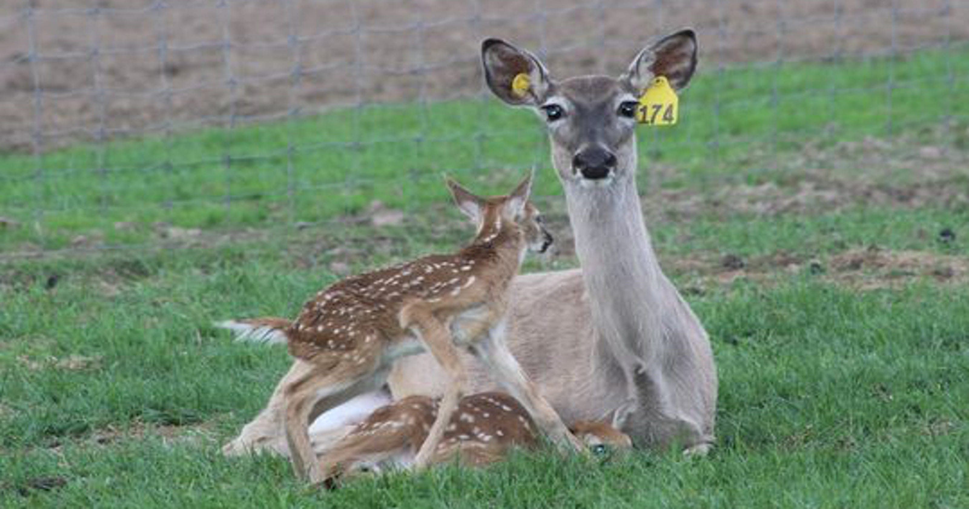 baiting feeding bans initiated due to cwd positive deer farm in