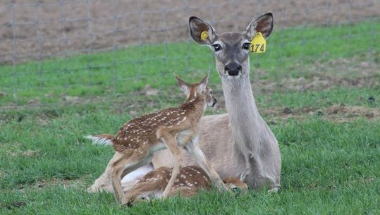 A white-tailed deer with two fawns on a Wisconsin captive cervid facility.