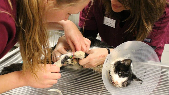 In this Jan. 27, 2015 photo made available by the Humane Society of Tampa Bay, shows Lori Piper, right, and Aleks Gramza treating Bart, a severely injured cat. Bart was hit by a car, buried and seemingly crawled back to his owner five days later. Bart was treated for a broken jaw, a ruptured eye and facial lacerations. He should recover in six weeks.