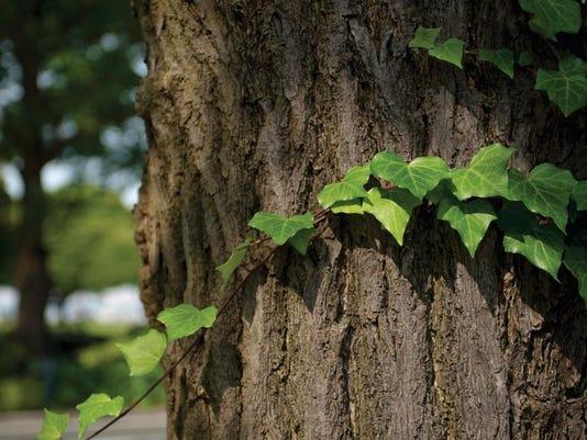 ivy (2)