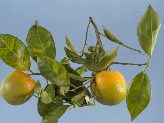 Citrus greening - main art