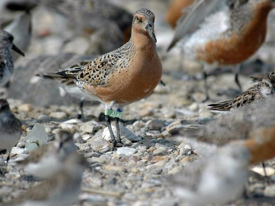 The U.S. Fish and Wildlife Service has proposed to protect the red knot under the Endangered Species Act as threatened.