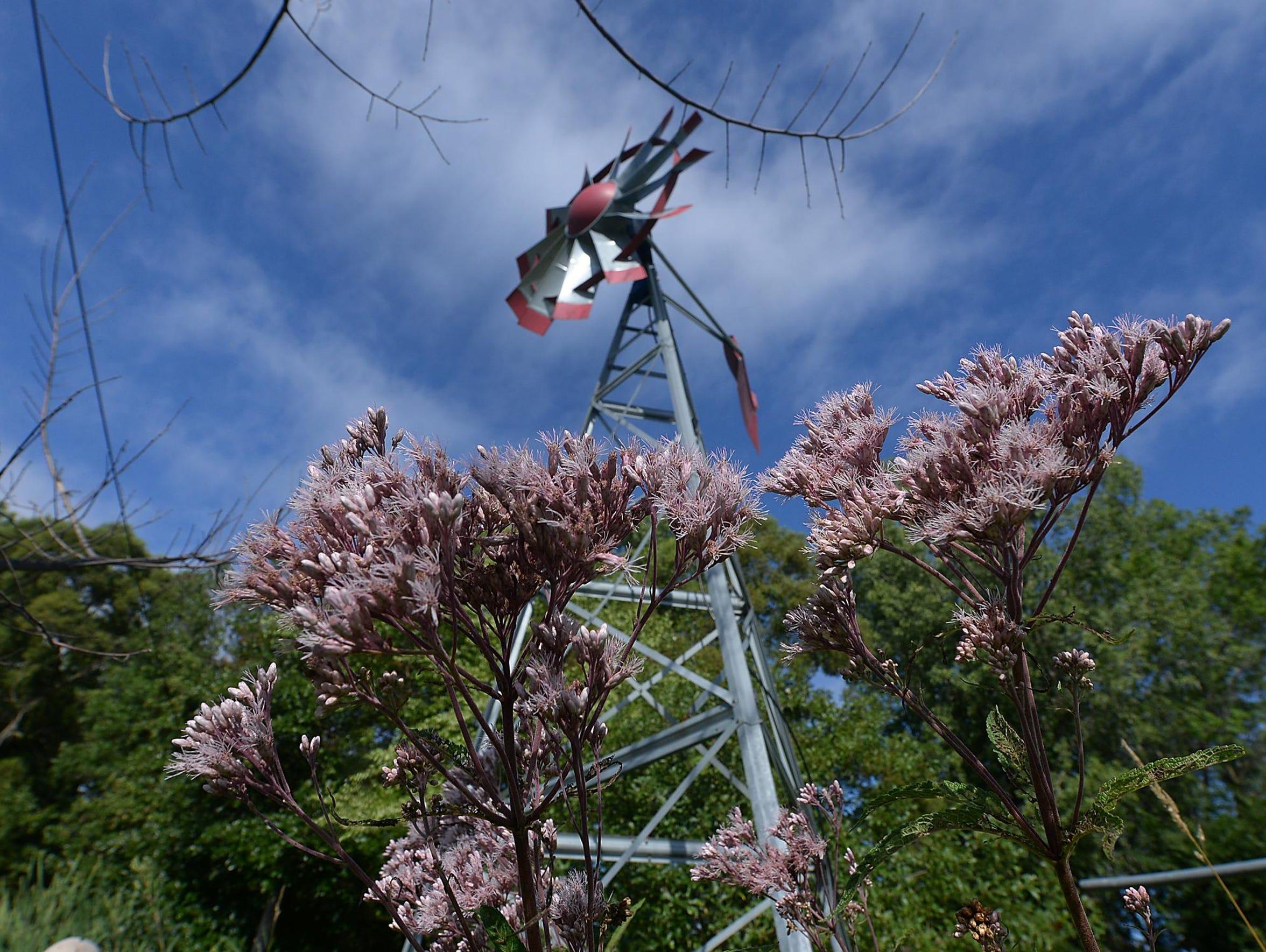 Joe Pye weed flowers under a working windmill near