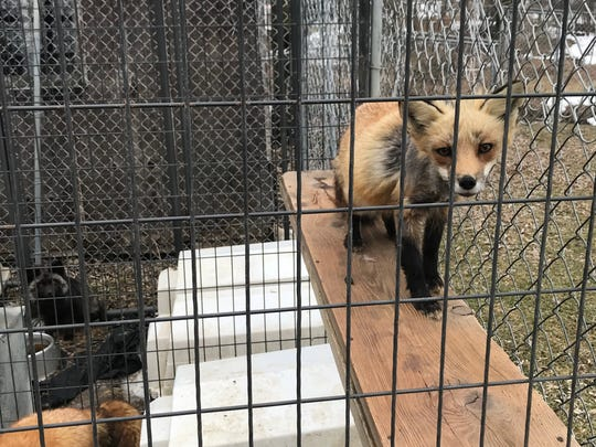 A fox was among 11 animals rescued from squalor in