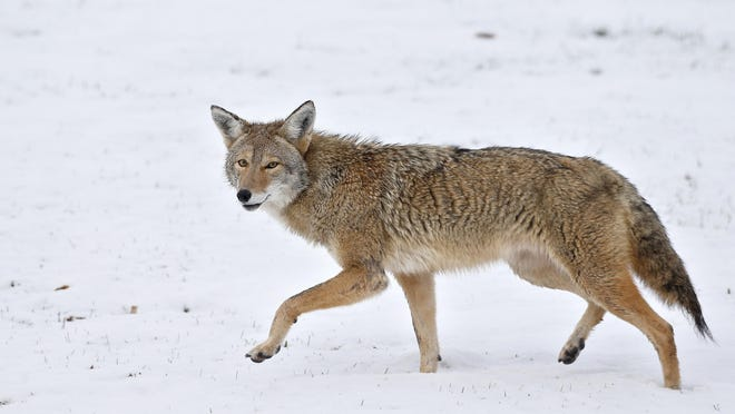 The Kansas Wildlife, Parks and Tourism Commission on Thursday approved a proposal to allow the use of lighting and thermal imaging/night vision equipment to hunt coyotes at night during its monthly meeting via Zoom.
