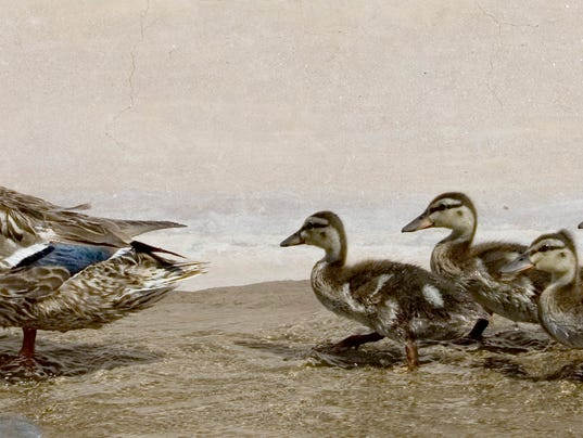 SR Wildart Mallard Duck