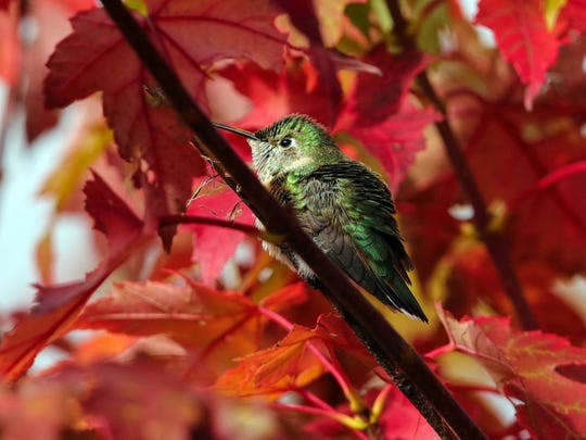 A hummingbird huddles among the colorful leaves of a tree.