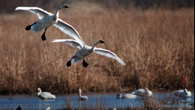 A pair of tundra swans glide in for a gentle landing at Rieck's Lake Park north of Alma.