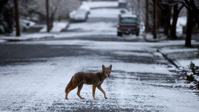 In this Feb. 24, 2011 file photo, a coyote crosses a snowy street in the Irvington section of Portland, Ore. Coyotes are a fairly common sight in rural areas of the Pacific Northwest and Northern California, and landowners might instinctively reach for the rifle if they see one in the pasture or sniffing around the barn. Many cities, Portland among them, are now home to thriving coyote populations.