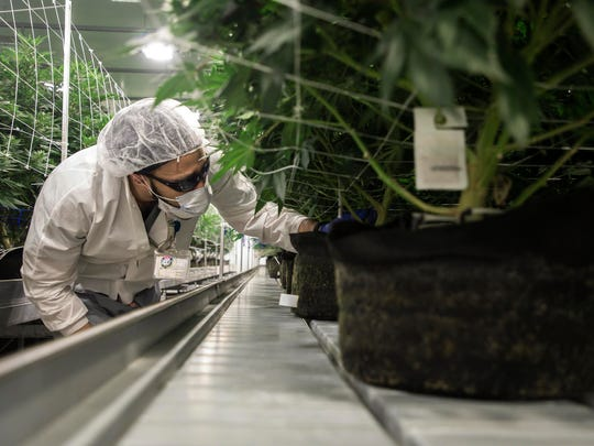 In this March 29, 2019, photo Brian Kirkland, assistant cultivator, tends to plants in flowering room at the Bedford Grow, a marijuana cultivation facility in Bedford Park in Bedford Park, Ill. (Zbigniew Bzdak/Chicago Tribune via AP)