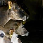 Cows at a dairy.