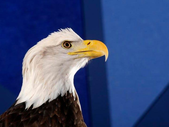 A bald eagle strikes a pose during an Eagle Awareness
