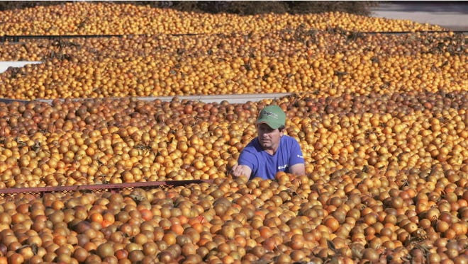 Tropicana employee inspects  oranges Monday, Dec. 5, 2005