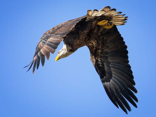 Scottsdale bald eagles take flight on golf course
