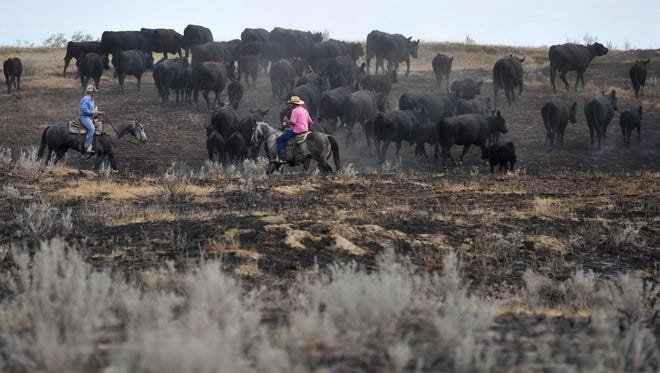 The Weeding family prepares their cattle be moved to new pastures after the Lodgepole Complex Fire burned much of the grazing land on the Calf Creek Cattle Ranch in the Sand Springs area this past summer.