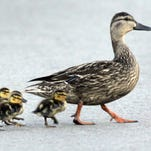 Family of ducks crossing Interstate 41 is actual cause of Wednesday crash