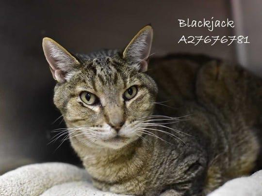 Blackjack - Male (neutered) domestic short hair, adult.