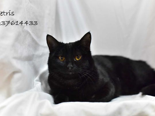 Tetris - Female (spayed) domestic short hair, about