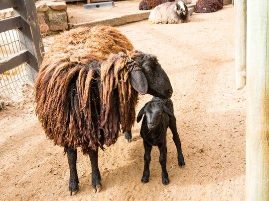 A Karakul sheep and its offspring at Sedgwick County Zoo in Wichita, Kan.