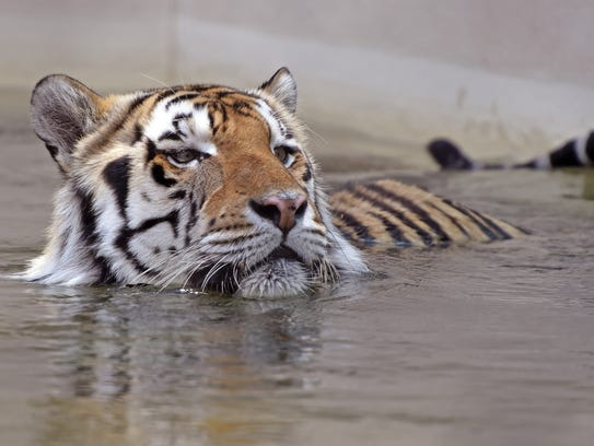 Mike VI soaks himself in his pool at LSU in May. The
