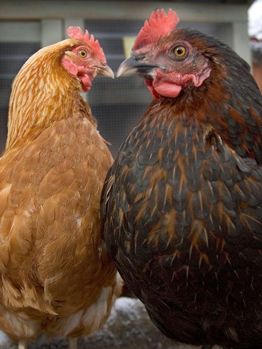 Spring Hill hens-01.jpg