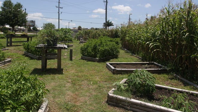 This is the former Roots Heritage Urban Garden operated at the Southwest Florida Enterprise Center on Dr. Martin Luther KIng Jr. Blvd. as an incubator prototype.