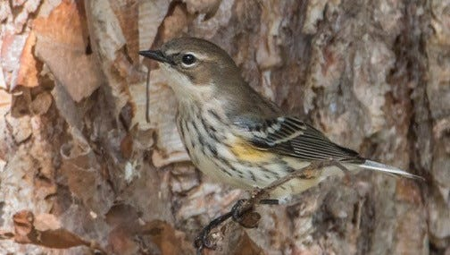 The Yellow-rump Warbler is one of the most common warblers and can winter as far north as New England. Many spend winters in the WNC mountains.