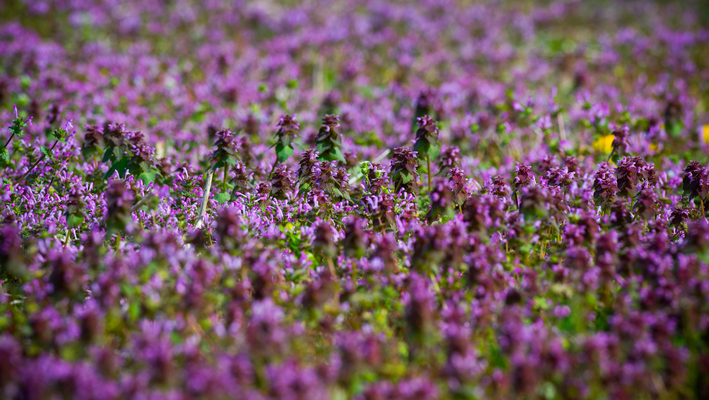 Those Purple Flowers In The Corn Fields Signal A Tough Decision For Farmers
