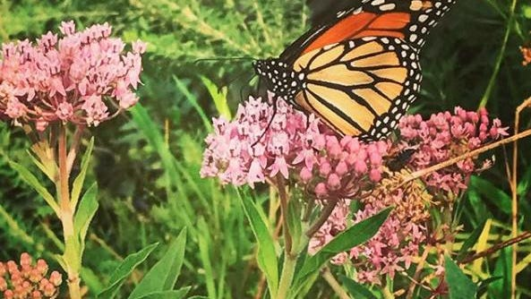 A monarch butterfly sits on a milkweed blossom.