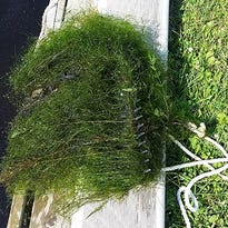 DNR confirms 2 more Minnesota lakes with starry stonewort