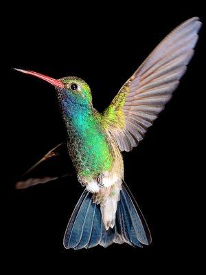 Tom Taylor used ultra-high-speed flash methods for a series of hummingbird images.
