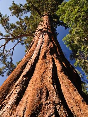 Giant Redwood tree. Not the one at Matthaei Botanical Gardens in Ann Arbor.