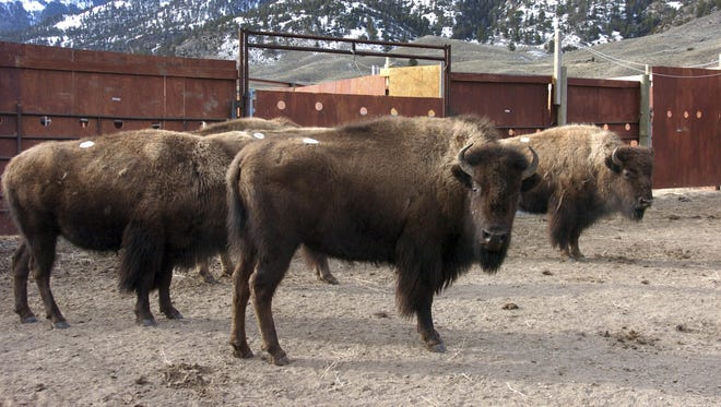 In this March 9, 2016 file photo a group of Yellowstone National Park bison await shipment to slaughter inside a holding pen along the park's northern border near Gardiner, Mont.