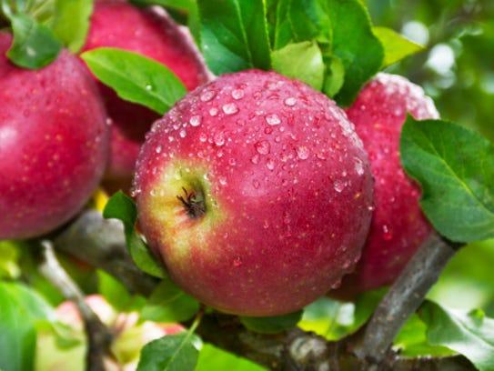 Organic Apples on Tree