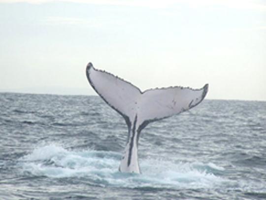 Fluke of a sounding humpback.