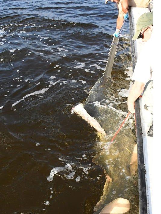 636277880095664559-sawfish-crop.jpg