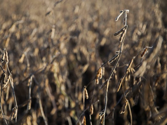 Soybeans ready to harvest on the Kimberley farm outside