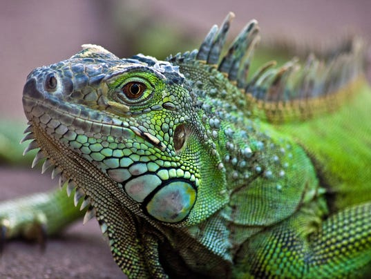 Portrait of a Iguana Lizard, western Cape, South Africa