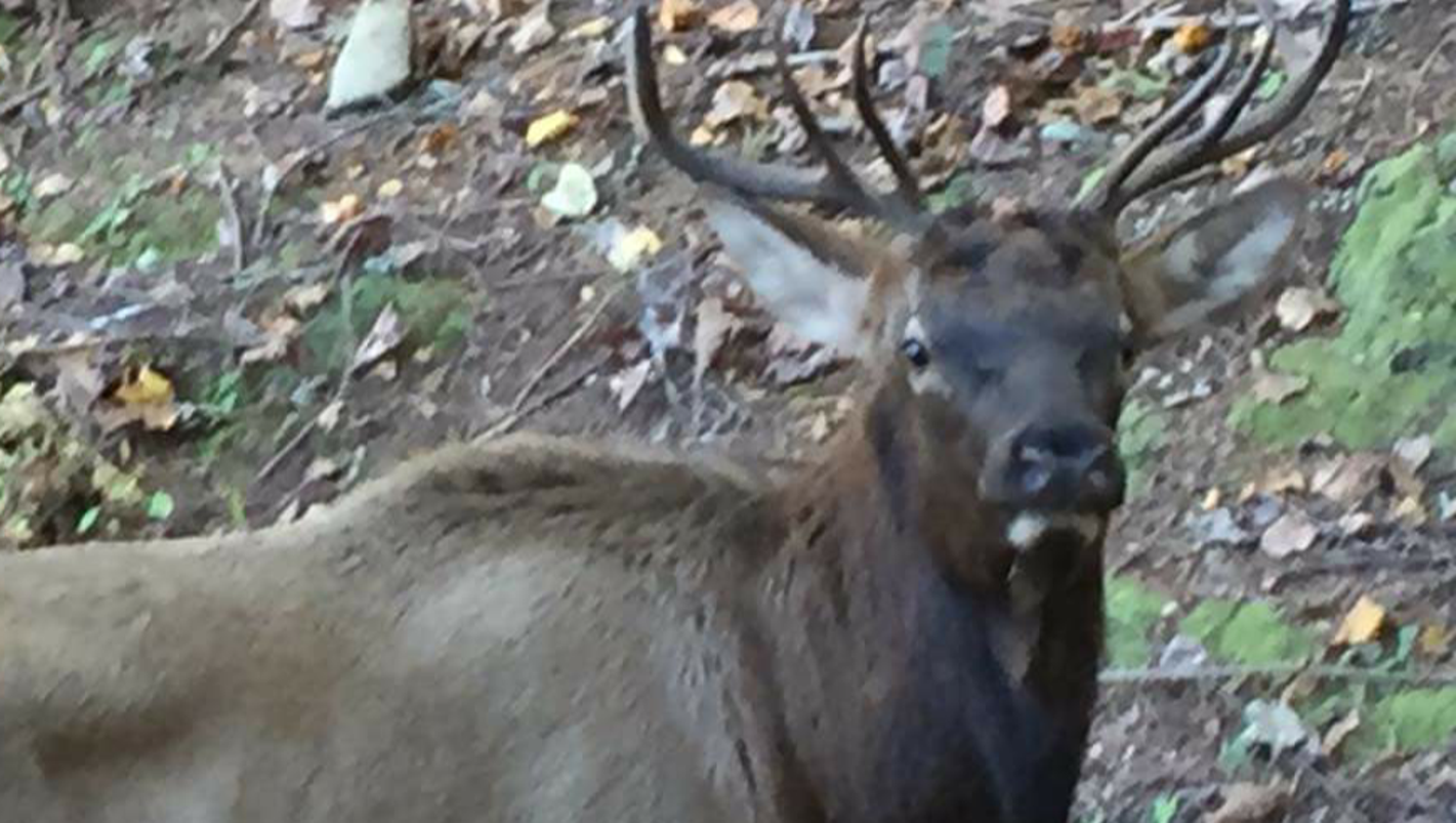 in pickens county first elk sighting in state for centuries