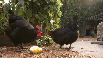 The Salisbury City Council plans to consider a pair of measures Monday that would allow residents to keep chickens and bees in their yards.
