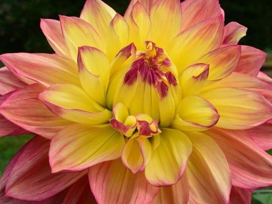 Gardening-Calendar-Wine-Dahlias.jpg